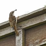 TREE CREEPER                           Taken at Cedar Avenue                                         Photography by Muriel Dale