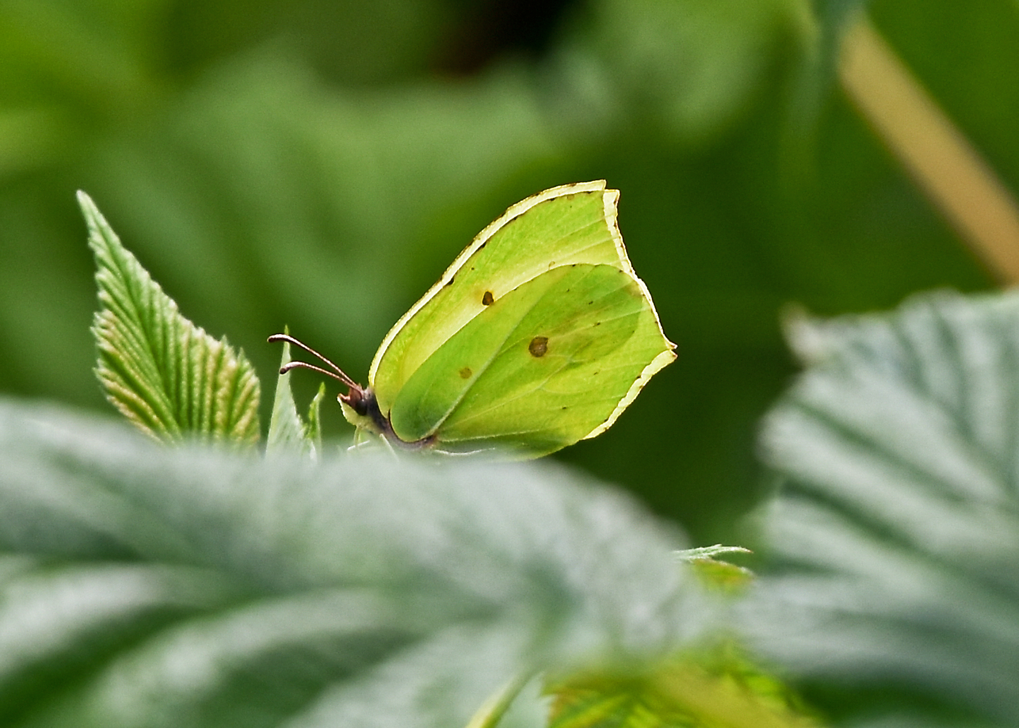 BRIMSTONE BUTTERFLY - Taken at Coronation Ave Photography by Muriel Dale