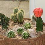 Winner Class 46 Cactus